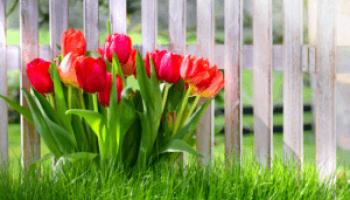 Сроки посадки тюльпанов осенью в подмосковье