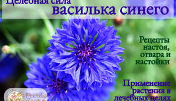 Цветки василька синего применение