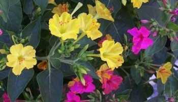 Цветок зорька или ночная красавица