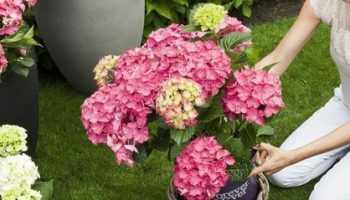 Как правильно посадить гортензию осенью