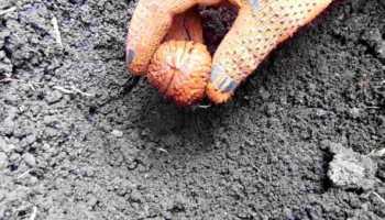 Когда лучше садить орех весной или осенью