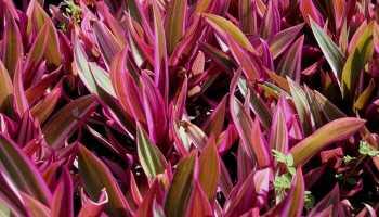Цветок с фиолетовыми листьями снизу название