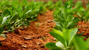 Как вырастить табак для курения на огороде
