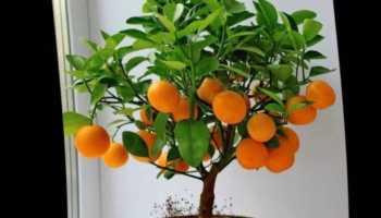 Мандариновое дерево дома как ухаживать