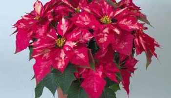 Цветок красная звезда как ухаживать