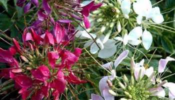 Цветы брызги шампанского посадка и уход